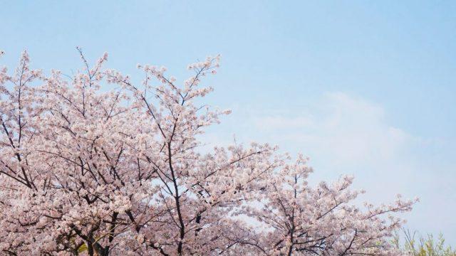 Cerezos en flor, primavera en Portugal
